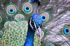 Show Off. Closeup of a Male Peacock displaying his feathers Royalty Free Stock Photo
