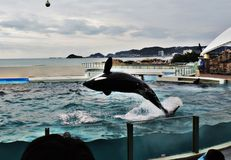 Show of Orcas or Killer whale. Stock Images