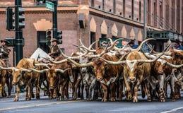 Show-Parade-Stiere auf Lager Lizenzfreie Stockfotografie