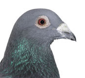 Show Pigeon Royalty Free Stock Image