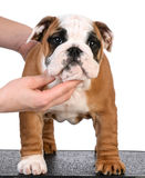 Show puppy Royalty Free Stock Images