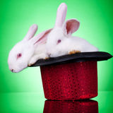 Show rabbits Royalty Free Stock Photography