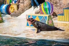 The show seals playing the hoop. Royalty Free Stock Photos