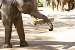 Show Thai Elephants lifting Large timber Bigger logs In the past. Elephants were used to lift large wood in the forest royalty free stock images