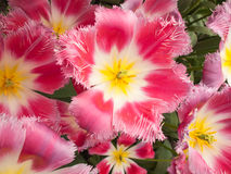 Show tulip in Closeup Stock Photos