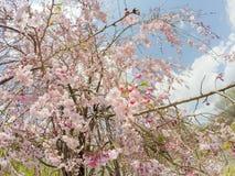 Showa Kinen KoenShowa Memorial Park, Tachikawa, Tokyo, Japan på April 13,2017: Gråta körsbärsröda blomningar Royaltyfri Bild