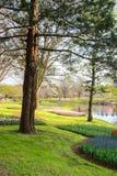 Showa Kinen KoenShowa Memorial Park, Tachikawa, Tokyo, Japan på April 13,2017: Härlig tulpanträdgård i vår Arkivfoto