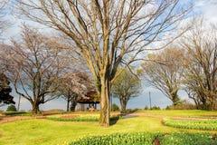 Showa Kinen KoenShowa Memorial Park, Tachikawa, Tokyo, Japan på April 13,2017: Härlig tulpanträdgård i vår Royaltyfria Bilder