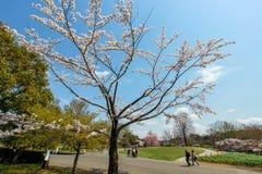 Showa Kinen KoenShowa Memorial Park, Tachikawa, Tokyo, Japan på April 13,2017: Härliga körsbärsröda träd Royaltyfria Bilder