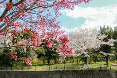 Showa Kinen KoenShowa Memorial Park, Tachikawa, Tokyo, Japan på April 13,2017: Härliga körsbärsröda träd Royaltyfri Fotografi