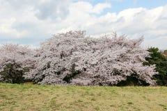 Showa Kinen KoenShowa Memorial Park, Tachikawa, Tokyo, Japan på April 13,2017: Härliga körsbärsröda träd Arkivfoto