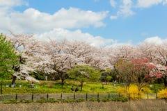 Showa Kinen KoenShowa Memorial Park, Tachikawa, Tokyo, Japan på April 13,2017: Körsbärsröda träd och färgrika blommor längs den t Arkivfoto