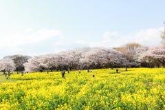 Showa Kinen KoenShowa Memorial Park, Tachikawa, Tokyo, Japan på April 13,2017: Nanohana flowersrapeblomningar och körsbärsröda tr Royaltyfri Fotografi