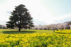 Showa Kinen KoenShowa Memorial Park, Tachikawa, Tokyo, Japan på April 13,2017: Nanohana flowersrapeblomningar och körsbärsröda tr Fotografering för Bildbyråer