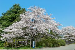 Showa Kinen KoenShowa Memorial Park, Tachikawa, Tokyo, Japan på April 13,2017: Stora körsbärsröda träd i parkera under våren Arkivfoton