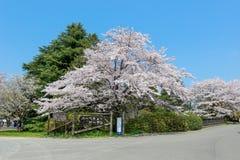 Showa Kinen KoenShowa Memorial Park, Tachikawa, Tokyo, Japan på April 13,2017: Stora körsbärsröda träd i parkera under våren Royaltyfri Bild