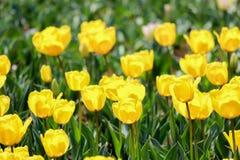 Candela Fosteriana Tulips at Showa Kinen KoenShowa Memorial Park,Tachikawa,Tokyo,Japan in spring. Showa Memorial ParkShowa Kinen Koen is a park in the city of royalty free stock images
