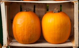 Showcase with two orange pumpkins stock photography