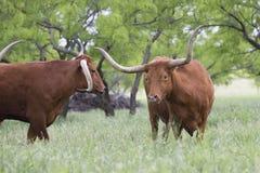 Showdown of two longhorn bulls. In Texas stock photo