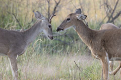 Showdown between yearling buck and doe. Doe displaying dominance over young buck stock images