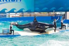 Showen av Lolita, späckhuggaren på Miami Seaquarium Royaltyfri Foto