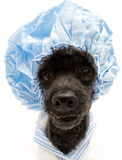 Shower Cap Pooch from Fisheye Angle Stock Images