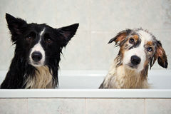 Shower dogs Stock Photo