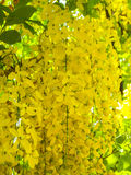 Shower flowers in summer. Yellow flower in summer,Flowers of golden shower tree in the garden street home royalty free stock images