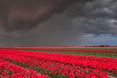 Shower over tulip field Stock Photography