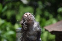 Showered monkey. Stock Photos
