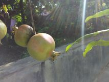 Showered by sunshine. This pomegranates showered by sunshine in the morning. Looks so yummy Stock Photos