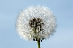 Showerhead dandelion. Detail of dandelion isolated on sky background royalty free stock photo