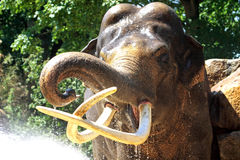 Showering elephant