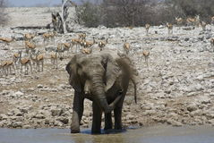 Showering elephant. At a watering hole, Namibia, Africa Stock Photography