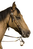 Showhorse Stock Photography