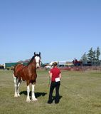 Showing a Clydesdale. A young woman shows a Clydesdale horse royalty free stock photography