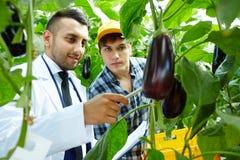 Showing eggplants Stock Photo