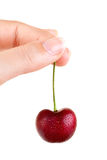 Showing a fresh cherry Royalty Free Stock Image