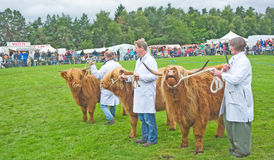 Showing Highland Cattle. Royalty Free Stock Photography