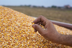 Showing maize seed Royalty Free Stock Photography
