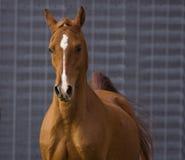 Showing off. Chestnut Arabian Gelding trotting foward Stock Photos