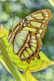 Delicate Butterfly Resting on Leaf. Stunning Butterfly does well to Hide itself on Similar Foliage Stock Images