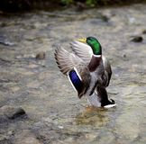 Showing off time. Mallard duck showing off its plumage Royalty Free Stock Photos