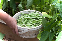 Showing Picked Green Beans In a Basket. A closeup view of picked green beans in a wicker basket held by the hand of the female picker by the raised bed vegetable Royalty Free Stock Photo