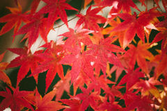 Showing Red Maple Leaves on Daytime Royalty Free Stock Photo