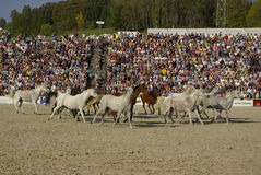Showing the Silver Herd, Marbach Stallion Parade Royalty Free Stock Photo