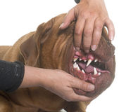 Showing the teeth Stock Photography