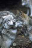 Showing wolf dominance. Tundra wolfs, Lakota wolf preserve Stock Images