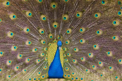 Showoff. Male peacock displaying plummage for show Stock Images