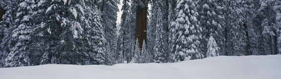 This shows the redwoods of the Giant Forest after a winter snow. Within the forest is the famous Sherman Tree, the largest tree in Stock Photography